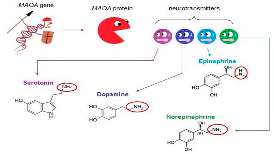 ген воина МАОА-L